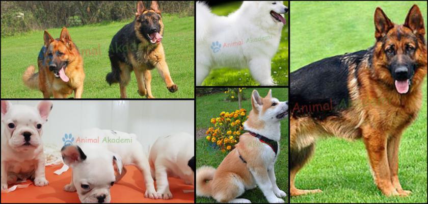 Köpek Tüylerini Taramak İçin Gerekli Olanlar